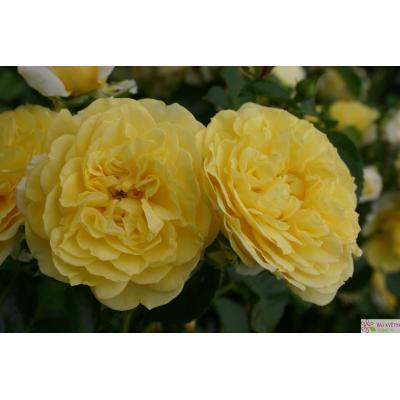 Mnohokvětá růže SOLERO