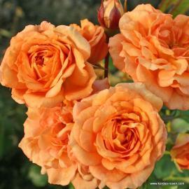 Mnohokvětá růže PÁLAVA