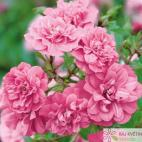 Půdopokryvná růže SWEET KNIRPS