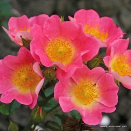 Půdopokryvná růže TOPOLINA