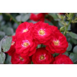 Miniaturní růže MANDY