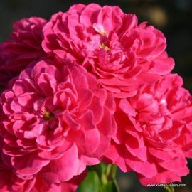 Miniaturní růže ROXY