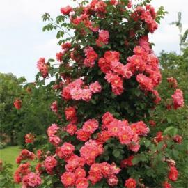 Pnoucí růže BAJAZOO
