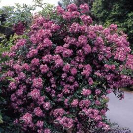Pnoucí růže VIELCHENBLAU