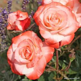 Keřová růže AUF DIE FREUNDSCHAFT