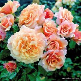 Keřová růže CARAMELLA