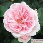Velkokvětá růže CINDERELLA