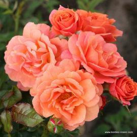 Velkokvětá růže LAMBADA