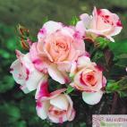 Velkokvětá růže ROSENSTADT FREISING
