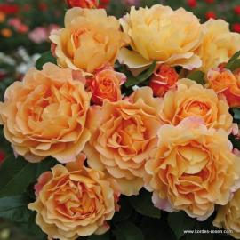 Velkokvětá růže SONNENWELT