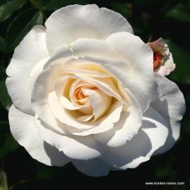 Velkokvětá růže SUMMER MEMORIES