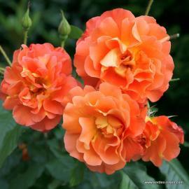 Velkokvětá růže WESTERLAND
