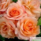 Mnohokvětá růže APRIKOLA