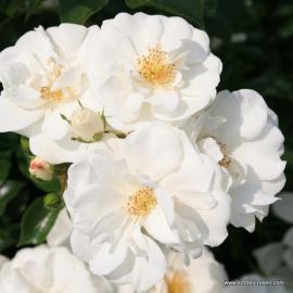 Půdopokravná růže INNOCENCIA