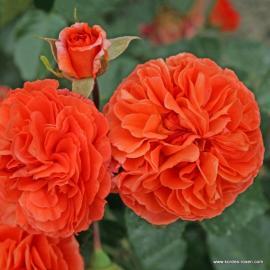 Mnohokvětá růže ORANGERIE