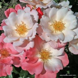 Mnohokvětá růže ROSEROMANTIC