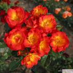 Mnohokvětá růže SUMMER OF LOVE