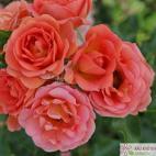 Miniaturní růže MANDARIN
