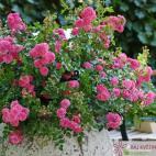 Miniaturní růže PEPITA