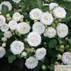 Miniaturní růže SCHNEEKÜSSCHEN