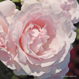 Mnohokvětá růže CONSTANZE MOZART