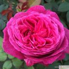 Mnohokvětá růže FREIFRAU CAROLINE