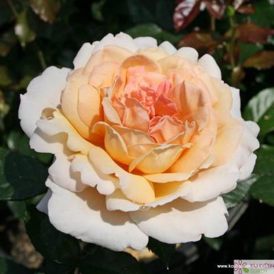 Velkokvětá růže GROSSHERZOGIN LUISE