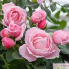 Pnoucí růže KISS ME KATE