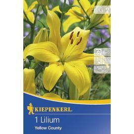 Lilie asijská Yellow County