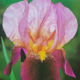 Kosatec německý - Iris germanica Indian Chief