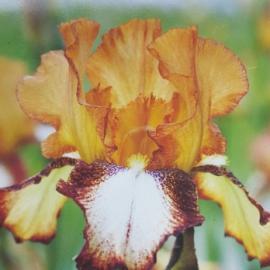 Kosatec německý - Iris germanica Siva Siva