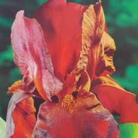 Kosatec německý - Iris germanica Sultan´s Palace