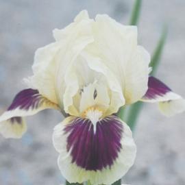Kosatec německý - Iris germanica Red Heart
