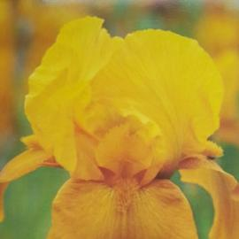 Kosatec německý - Iris germanica Bronzaire