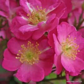 Miniaturní růže LUPO