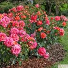 Mnohokvětá růže SOMMERSONNE