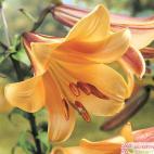 Lilie trumpet (Lilium) African Queen