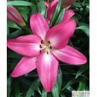 Lilie (Lilium) Arbatax
