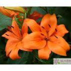 Lilie asijská (Lilium) Bariton