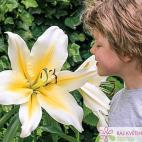 Lilie (Lilium) Big Brother