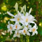 Lilie (Lilium) candidum