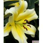 Lilie (Lilium) Conca d´Or