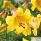 Lilie trubkovitá (Lilium) Golden Splendour