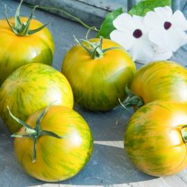 Roubované tyčkové rajče Tiverta