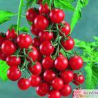 Roubované tyčkové rajče Lupitas