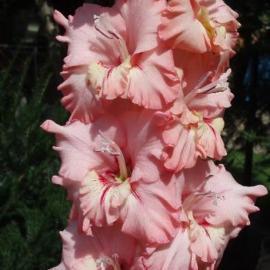 Mečík - Gladiolus Růžový Opál hlíza 1ks