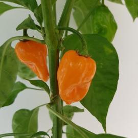Roubovaná paprika chilli Magnum (Habanero)