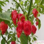Roubovaná paprika chilli Morich (Naga Red)