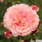 Mnohokvětá růže AMARETTO