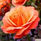 Mnohokvětá růže CORAL LIONS ROSE